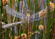 Yellow Dragonfly Posters - Dragonfly Poster by Alison Lee  Cousland