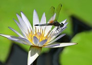 White Water Lilies Posters - Dragonfly and the Water Lily Poster by Sabrina L Ryan