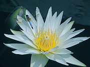 Byron Varvarigos - Dragonfly And Water Lily