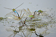 Dragonflies Mating Photos - Dragonfly Days by Fraida Gutovich