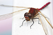 Dragon Fly Posters - Dragonfly Devours Mosquito Poster by Darcy Michaelchuk