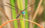 Dragonfly Photo Framed Prints - Dragonfly Framed Print by Everet Regal