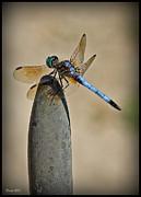 Dragonfly Print by Farol Tomson