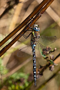 Backgrounds Metal Prints - Dragonfly Metal Print by Gert Lavsen