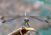 Mounted Prints Framed Prints - Dragonfly Headshot Framed Print by Graham Taylor
