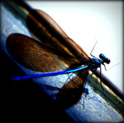 Blue Dragon Fly Posters - DragonFly II Poster by Susie Weaver