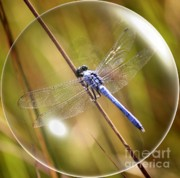 Macro Digital Art Framed Prints - Dragonfly in a Bubble Framed Print by Carol Groenen