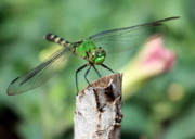 Dragonfly Eyes Prints - Dragonfly in the Flower Garden Print by Carol Groenen
