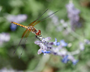 Faa Featured Metal Prints - Dragonfly in the Lavender Garden Metal Print by Rona Black