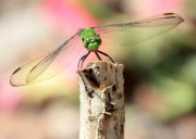 Nature Cards Photos - Dragonfly in the Petunias by Carol Groenen