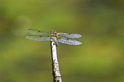 Dragonflies Photos - Dragonfly In The Sun  by Jeff  Swan