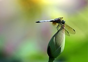 Blue Dragon Fly Posters - Dragonfly in Wonderland Poster by Sabrina L Ryan