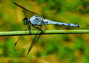 Painter Photo Posters - Dragonfly Poster by Jack Zulli