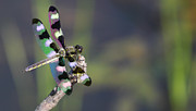 Dragonfly Photo Originals - Dragonfly by Joe Grimando
