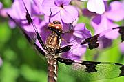 Abdomen Photos - Dragonfly by Joe  Ng