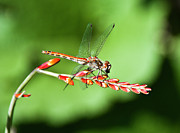 Red Photographs Originals - Dragonfly  by Lady Angel