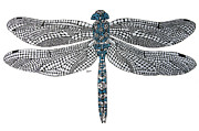 Dragon Fly Drawings Posters - Dragonfly Poster by Leanne Karlstrom
