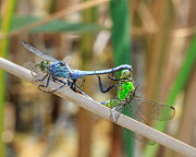 Cattails Photos - Dragonfly Love by Everet Regal