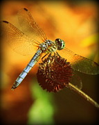 Dragon Flies Posters - Dragonfly on a Dried Up Flower Poster by Tam Graff