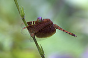 Dragonfly Eyes Posters - Dragonfly on a Leaf Poster by Zoe Ferrie