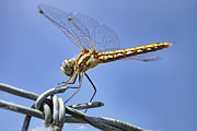 Barbed Wire Fences Framed Prints - Dragonfly on Barbed Wire Framed Print by Jason Politte