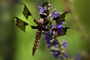 Dragon Fly Posters - Dragonfly on Salvia Poster by  Onyonet  Photo Studios