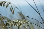 Sea Oats Metal Prints - Dragonfly on Sea Oats Metal Print by Robert  Suits Jr