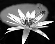 Sabrina L Ryan - Dragonfly on the Water Lily