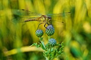 Dragonfly Framed Prints - Dragonfly on Thistle Buds Framed Print by Michael Peychich