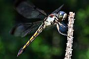 Dragonfly Photo Originals - Dragonfly Revisited by Kenneth Albin