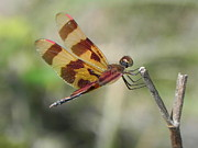 Sandy Owens - Dragonfly