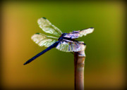 Blue Dragon Fly Posters - DragonFly Poster by Susie Weaver