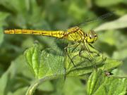 Dragon Fly Posters - DragonFly Poster by Svetlana Sewell