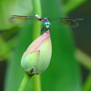 Water Lily Photos - Dragonfly VA 1 by Diana Douglass