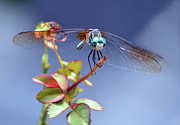 Dragonfly Visit Print by Sandi OReilly