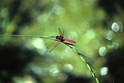 Autonomous Prints - Dragonfly, Yangdi Valley, Guilin Print by Raymond Gehman