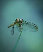 Dragonfly Framed Prints - Dragonfly Framed Print by Zoe Ferrie