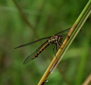 Tropical Photographs Originals - Dragonflys Rest by William Patterson