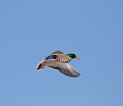 Sam Amato Prints - Drake Mallard in Flight Print by Sam Amato