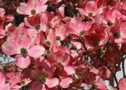 Pink Blossoms Photo Posters - Dramatic Dogwood Flowers Poster by Carol Groenen