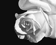 Rose Macro Prints - Dramatic Rose Flower Black and White Print by Jennie Marie Schell
