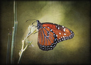 Queen Butterfly Posters - Dream A Little Dream Poster by Saija  Lehtonen