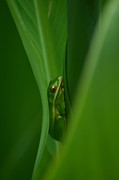 Amphibian Greeting Card Posters - Dream Green  Poster by Kathy Gibbons
