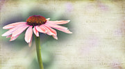 Cone Flower Prints - Dream Print by Rebecca Cozart
