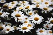 Bellis Prints - Dreaming Daisies Print by George Oze