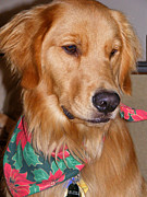 Goldens Framed Prints - Dreaming of a White Christmas Framed Print by Kara Kincade