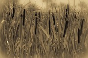 Sepia And Cream Posters - Dreaming of Cattails Poster by DigiArt Diaries by Vicky Browning