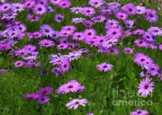 Green Florals Prints - Dreaming of Purple Daisies  Print by Carol Groenen