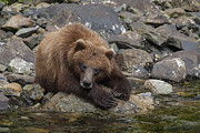 Bears Island Photos - Dreaming of Salmon by Tim Grams