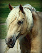 White Horses Photo Prints - Dreams of Honey Print by Karen Wiles